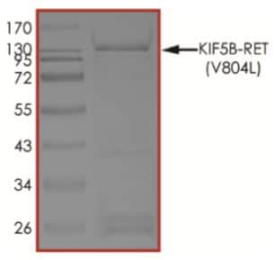 SDS-PAGE - Recombinant human Ret (mutated V804 L) + KIF5B protein (Active) (ab268708)