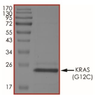 SDS-PAGE - Recombinant human KRAS (mutated G12 C) protein (Tagged) (ab268711)