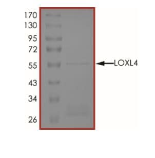 SDS-PAGE - Recombinant Human LOXL4 protein (ab268731)
