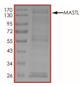 SDS-PAGE - Recombinant human GWL protein (Tagged) (ab268748)
