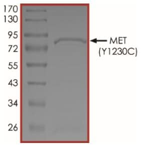 SDS-PAGE - Recombinant human Met (c-Met) protein (Tagged) (ab268779)