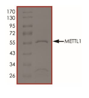 SDS-PAGE - Recombinant Human METTL1 protein (ab268784)