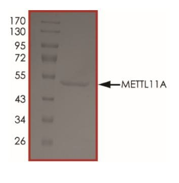 Functional Studies - Recombinant Human METTL11A protein (ab268785)