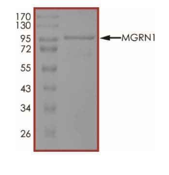 SDS-PAGE - Recombinant human MGRN1 protein (ab268790)
