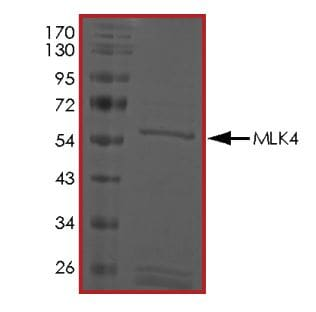 SDS-PAGE - Recombinant human MLK4 protein (ab268798)