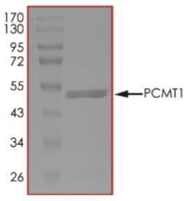 SDS-PAGE - Recombinant Human PCMT1 protein (Tagged) (ab268839)