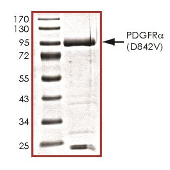 SDS-PAGE - Recombinant human PDGFR alpha (mutated D842 V) protein (ab268845)
