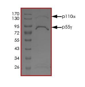 SDS-PAGE - Recombinant human PI 3 Kinase p55 gamma + PI 3 Kinase catalytic subunit alpha/PIK3CA protein (ab268852)
