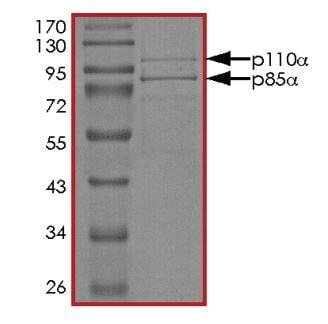 SDS-PAGE - Recombinant human PI 3 Kinase p85 alpha + PI 3 Kinase catalytic subunit alpha/PIK3CA protein (ab268854)