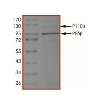 SDS-PAGE - Recombinant human PI3 Kinase p110 beta + PI 3 Kinase p85 beta protein (ab268857)