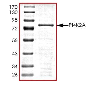 SDS-PAGE - Recombinant human PI4K2A protein (ab268860)