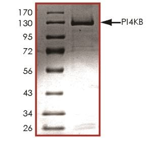 SDS-PAGE - Recombinant human PI4 kinase beta/PI4KB protein (ab268863)