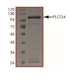 SDS-PAGE - Recombinant Human PLCD4 protein (ab268875)