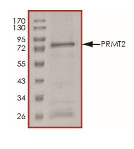 SDS-PAGE - Recombinant Human PRMT2/HMT1 protein (ab268887)