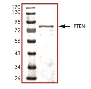 SDS-PAGE - Recombinant human PTEN protein (ab268894)