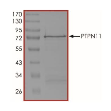 SDS-PAGE - Recombinant human SHP2 protein (ab268898)