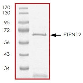 SDS-PAGE - Recombinant human PTPN12 protein (Tagged) (ab268901)