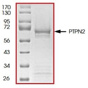 SDS-PAGE - Recombinant human TCPTP protein (Tagged) (ab268903)