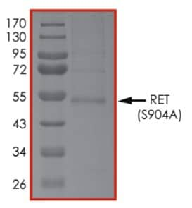 SDS-PAGE - Recombinant human Ret (mutated S904 A) protein (Tagged) (ab268926)