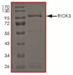 SDS-PAGE - Recombinant Human RIOK3 protein (Tagged) (ab268941)