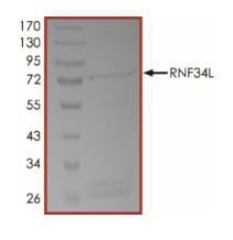 SDS-PAGE - Recombinant human Rffl protein (ab268947)