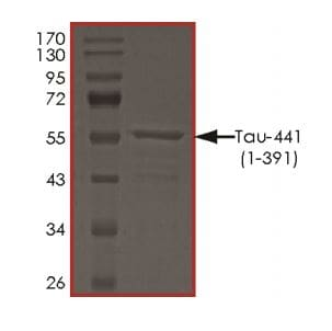 SDS-PAGE - Recombinant human Tau protein (ab268991)