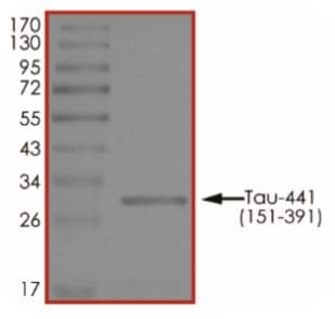 SDS-PAGE - Recombinant Human Tau protein (ab268993)