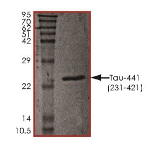 SDS-PAGE - Recombinant Human Tau protein (ab268997)
