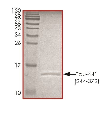 SDS-PAGE - Recombinant Human Tau protein (ab268999)