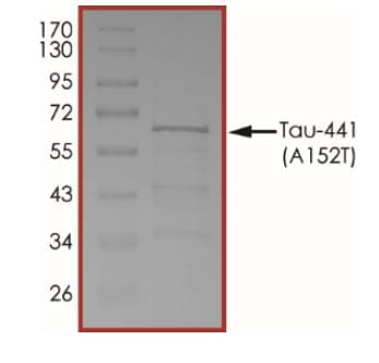 SDS-PAGE - Recombinant Human Tau (mutated A152T) protein (ab269001)