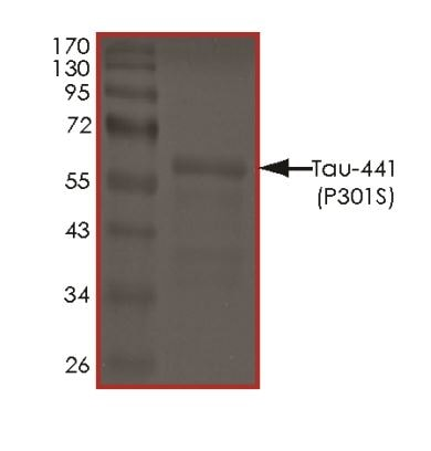 SDS-PAGE - Recombinant Human Tau (mutated P301 S) protein (ab269008)