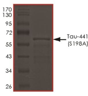 SDS-PAGE - Recombinant Human Tau protein (ab269010)