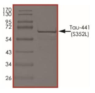 SDS-PAGE - Recombinant Human Tau protein (ab269015)