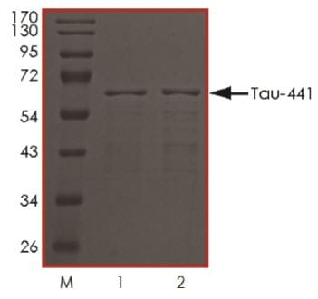 SDS-PAGE - Recombinant human Tau protein (ab269026)
