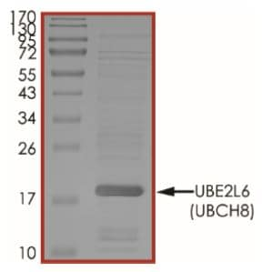 SDS-PAGE - Recombinant human Ube2L6 protein (Tagged) (ab269106)