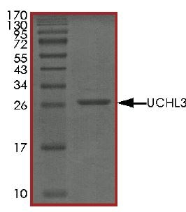 SDS-PAGE - Recombinant human UCHL3 protein (Tagged) (ab269111)