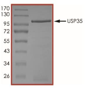SDS-PAGE - Recombinant human USP35 protein (Tagged) (ab269122)