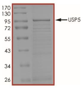 SDS-PAGE - Recombinant human USP5 protein (Tagged) (ab269124)