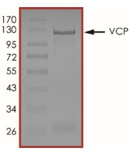 SDS-PAGE - Recombinant human VCP protein (Tagged) (ab269130)