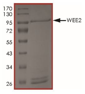 SDS-PAGE - Recombinant Mouse WEE2 protein (Tagged) (ab269133)