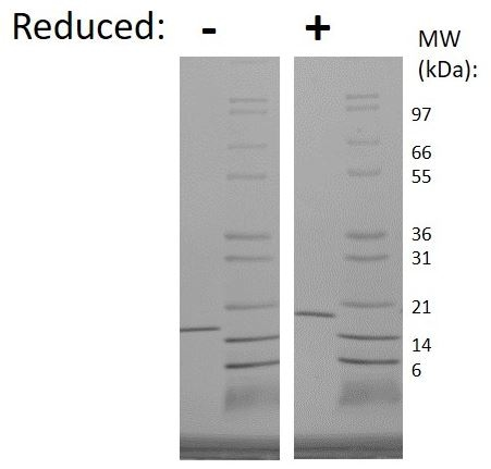 SDS-PAGE - Recombinant Human IL-7 protein (ab269148)