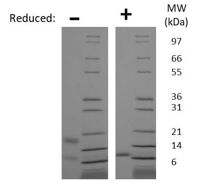 SDS-PAGE - Recombinant Human RELM beta protein (ab269151)