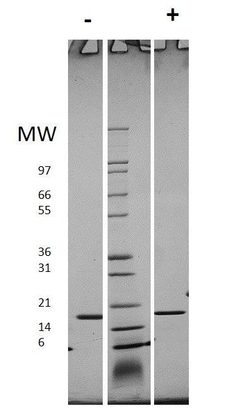 SDS-PAGE - Recombinant human IL-1 beta protein (Active) (ab269154)