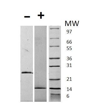 SDS-PAGE - Recombinant Human GDF15 protein (ab269155)