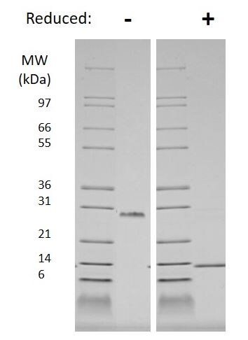 SDS-PAGE - Recombinant human PDGF B protein (Active) (ab269157)