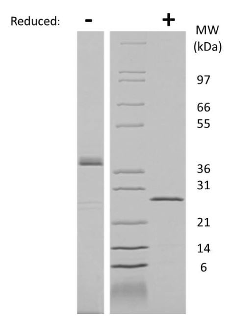 SDS-PAGE - Recombinant Human PLGF protein (ab269160)