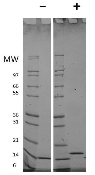SDS-PAGE - Recombinant human Flt3 ligand/Flt3L protein (Active) (ab269161)