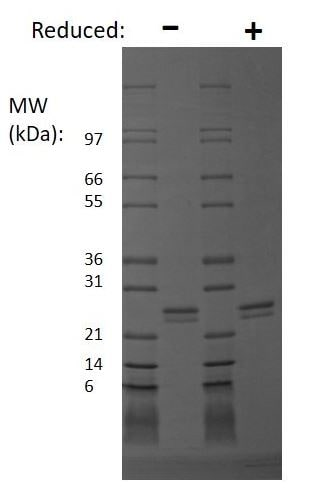SDS-PAGE - Recombinant human FGF9 protein (Active) (ab269162)