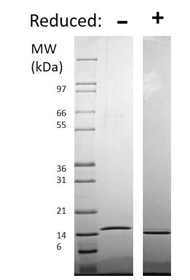 SDS-PAGE - Recombinant human TRAP/CD40L protein (Active) (ab269164)