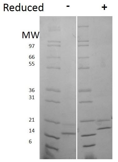 SDS-PAGE - Recombinant human FGF4 protein (Active) (ab269168)